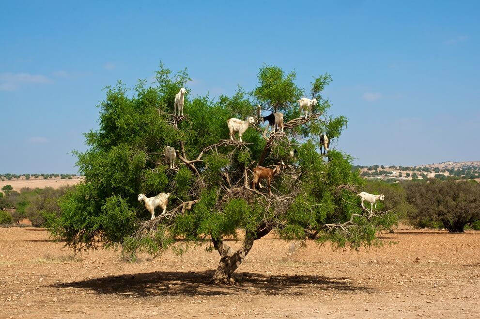 argan-oil-trees.jpg